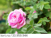 Купить «tea rose bush. Rose oil production.», фото № 33959944, снято 12 мая 2018 г. (c) Nataliia Zhekova / Фотобанк Лори