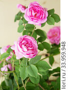 tea rose bush. Rose oil production. Стоковое фото, фотограф Nataliia Zhekova / Фотобанк Лори