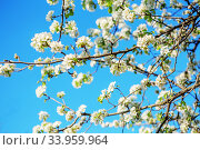 Купить «flowers bloom on a branch of pear against blue sky», фото № 33959964, снято 16 апреля 2016 г. (c) Nataliia Zhekova / Фотобанк Лори