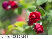 Купить «Beautiful bush of red roses in a spring garden. Rose garden.», фото № 33959988, снято 28 мая 2018 г. (c) Nataliia Zhekova / Фотобанк Лори