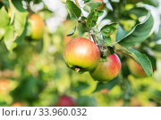 Apple fruits growing on a apple tree branch in orchard. Apple ripening. variety of apples. Стоковое фото, фотограф Nataliia Zhekova / Фотобанк Лори