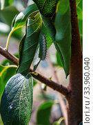 Caterpillar garden pests eat the leaves on a tree. Стоковое фото, фотограф Nataliia Zhekova / Фотобанк Лори