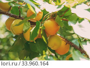 Купить «Ripe sweet apricot fruits growing on a apricot tree branch in orchard», фото № 33960164, снято 24 июня 2017 г. (c) Nataliia Zhekova / Фотобанк Лори