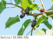 Fresh mulberry, black ripe and red unripe mulberries. Стоковое фото, фотограф Nataliia Zhekova / Фотобанк Лори