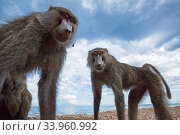 Olive baboons standing on the lake shore. Gombe National Park, Tanzania... Стоковое фото, фотограф Anup Shah / Nature Picture Library / Фотобанк Лори