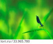 Broad-winged damselflies (Calopterygidae), male Calopteryx virgo. Стоковое фото, фотограф Zoonar.com/Maximilian Buzun / easy Fotostock / Фотобанк Лори