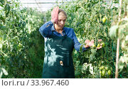 Купить «Confused gardener checking tomatoes», фото № 33967460, снято 3 октября 2018 г. (c) Яков Филимонов / Фотобанк Лори