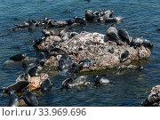Baikal seals (Pusa sibirica) haueld out, endemic to Lake Baikal, Siberia, Russia. July. Стоковое фото, фотограф Olga Kamenskaya / Nature Picture Library / Фотобанк Лори