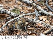 Siberian chipmunk (Eutamias sibiricus) feeding, Lake Baikal, Siberia, Russia. April. Стоковое фото, фотограф Olga Kamenskaya / Nature Picture Library / Фотобанк Лори