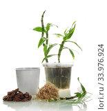 Купить «Dendrobium sprout prepared for transplantation into a new pot, closeup shot isolated on white background», фото № 33976924, снято 14 мая 2020 г. (c) Сергей Молодиков / Фотобанк Лори