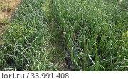 Купить «Rows of harvest of green onion in garden outdoor, no people», видеоролик № 33991408, снято 15 апреля 2020 г. (c) Яков Филимонов / Фотобанк Лори
