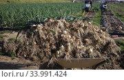 Купить «Team of workers harvests green onions on a plantation», видеоролик № 33991424, снято 5 февраля 2020 г. (c) Яков Филимонов / Фотобанк Лори