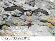 Atlantic puffin (Fratercula arctica) taking off, Machias Seal Island, Maine, USA, June. Стоковое фото, фотограф George Sanker / Nature Picture Library / Фотобанк Лори