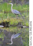 Купить «Great blue heron (Ardea herodias) reflected in water Acadia National Park, Maine, USA.», фото № 33993816, снято 13 июля 2020 г. (c) Nature Picture Library / Фотобанк Лори