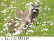 Raccoon (Procyon lotor) female with cub among flowers,  Acadia National Park, Maine, USA. Стоковое фото, фотограф George Sanker / Nature Picture Library / Фотобанк Лори