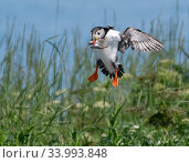 Atlantic puffin (Fratecula arctica) landing, Machias Seal Island, Maine, USA, July. Стоковое фото, фотограф George Sanker / Nature Picture Library / Фотобанк Лори