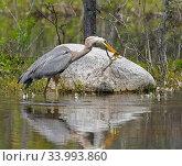 Купить «Great blue heron (Ardea herodias) catching Green frog (Lithobates clamitans) Acadia National Park, Maine, USA. June.», фото № 33993860, снято 4 июля 2020 г. (c) Nature Picture Library / Фотобанк Лори