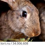 Купить «Head of brown rabbit. Close up. Whole background.», фото № 34006608, снято 12 июля 2020 г. (c) age Fotostock / Фотобанк Лори