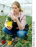 Woman gardener holding pot with tomatoes seedling in sunny greenhouse. Стоковое фото, фотограф Яков Филимонов / Фотобанк Лори