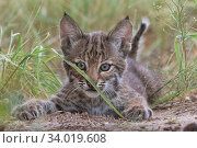 Portrait of a wild female Bobcat (Lynx rufus) kitten playing, Texas... Стоковое фото, фотограф Karine Aigner / Nature Picture Library / Фотобанк Лори