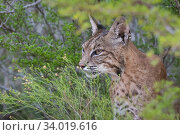 Portrait of a wild female adult Bobcat (Lynx rufus). Texas, USA. September. Стоковое фото, фотограф Karine Aigner / Nature Picture Library / Фотобанк Лори
