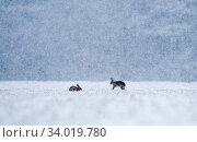 Brown hares (Lepus timidus) in field of winter wheat. during blizzard Norfolk winter. Стоковое фото, фотограф David Tipling / Nature Picture Library / Фотобанк Лори