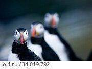 Купить «Puffin (Fratercula arctica) group of three, Farne Islands, Northumberland, UK July», фото № 34019792, снято 3 июля 2020 г. (c) Nature Picture Library / Фотобанк Лори