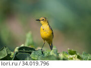 Yellow wagtail (Motacilla flava) male with food for young in nest under cabbage leaf, Lincolnshire, England, UK. July. Стоковое фото, фотограф David Tipling / Nature Picture Library / Фотобанк Лори
