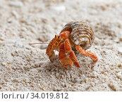 Купить «Stawberry hermit crab (Coenobita perlatus) on beach, Wizard Island, Cosmoledo Atoll, Seychelles», фото № 34019812, снято 5 июля 2020 г. (c) Nature Picture Library / Фотобанк Лори