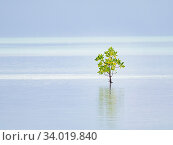 Купить «Red mangrove (Rhizophora mucronata) tree, alone on shore, St Francois Atoll, Seychelles.», фото № 34019840, снято 13 июля 2020 г. (c) Nature Picture Library / Фотобанк Лори
