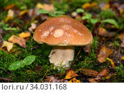 Белый гриб (Boletus edulis Bull.) растет во мху. Стоковое фото, фотограф Ирина Борсученко / Фотобанк Лори