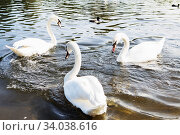 Купить «Beautiful white swan with the family in swan lake, romance, seasonal postcard.», фото № 34038616, снято 25 августа 2017 г. (c) Nataliia Zhekova / Фотобанк Лори