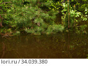 Купить «Forest flooded when the river overflowed, young pine branches sticking out from under water in the foreground», фото № 34039380, снято 15 мая 2020 г. (c) Евгений Харитонов / Фотобанк Лори