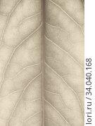 Autumn leaf closeup background. Стоковое фото, фотограф Фрибус Екатерина / Фотобанк Лори