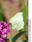 The Brimstone (Gonepteryx rhamni) is a butterfly (butterfly) from the family of Whites (Pieridae) Der Zitronenfalter (Gonepteryx rhamni) ist ein Schmetterling... Стоковое фото, фотограф Zoonar.com/Eric Hepp / easy Fotostock / Фотобанк Лори