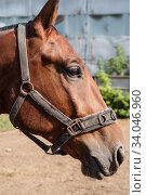 Купить «Head of bay horse with bridle in profile closeup. Photo taken in Russia, in the city of Orenburg», фото № 34046960, снято 24 августа 2019 г. (c) Вадим Орлов / Фотобанк Лори