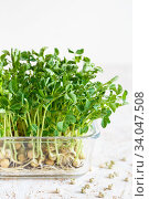 Close-up of peas microgreens with seeds and roots. Sprouting Microgreens. Seed Germination at home. Vegan and healthy eating concept. Sprouted peas Seeds, Micro greens. Growing sprouts. Стоковое фото, фотограф Nataliia Zhekova / Фотобанк Лори