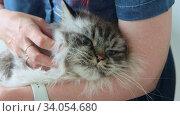 Купить «Big fluffy cat in hand of ginger woman - petting the cat», видеоролик № 34054680, снято 10 июля 2020 г. (c) Константин Шишкин / Фотобанк Лори