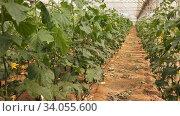 Купить «Rows of cucumber plants growing in large commercial greenhouse. Industrial vegetables cultivation», видеоролик № 34055600, снято 29 апреля 2020 г. (c) Яков Филимонов / Фотобанк Лори