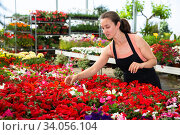 Купить «Young woman florist holding dipladenia plants in pots indoors», фото № 34056104, снято 4 июля 2020 г. (c) Яков Филимонов / Фотобанк Лори