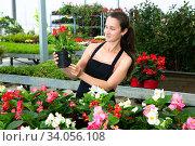 Купить «Young woman florist holding dipladenia plants in pots indoors», фото № 34056108, снято 2 июля 2020 г. (c) Яков Филимонов / Фотобанк Лори