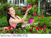 Female florist cultivating Dipladenia (Mandevilla) in greenhouse. Стоковое фото, фотограф Яков Филимонов / Фотобанк Лори