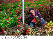 Купить «Latino female florist checking potted flowers red orchids», фото № 34056544, снято 7 июля 2020 г. (c) Яков Филимонов / Фотобанк Лори