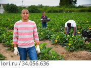 Successful hispanic grower on courgettes plantation during harvest. Стоковое фото, фотограф Яков Филимонов / Фотобанк Лори