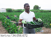 Купить «African American carrying box with gathered green courgettes», фото № 34056672, снято 1 июня 2020 г. (c) Яков Филимонов / Фотобанк Лори