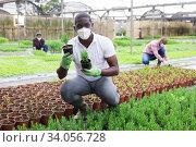 African American in medical mask controlling growing of rosemary in glasshouse. Стоковое фото, фотограф Яков Филимонов / Фотобанк Лори
