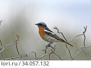 Eversmann's redstart (Phoenicurus erythronotus) male, Oman, February. Стоковое фото, фотограф Hanne & Jens Eriksen / Nature Picture Library / Фотобанк Лори