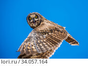 Купить «Short-eared owl (Asio flammeus) in flight, Santa Fe Island, Galapagos.», фото № 34057164, снято 10 июля 2020 г. (c) Nature Picture Library / Фотобанк Лори