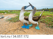 Купить «Blue-footed booby (Sula nebouxii) courting pair, South coast, Santa Cruz Island, Galapagos.», фото № 34057172, снято 13 июля 2020 г. (c) Nature Picture Library / Фотобанк Лори