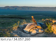 Galapagos hawk (Buteo galapagoensis) perched on Galapagos giant tortoise (Chelonoidis vandenburghi) Alcedo Volcano, Isabela Island, Galapagos.. Стоковое фото, фотограф Tui De Roy / Nature Picture Library / Фотобанк Лори